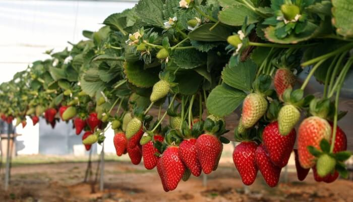 comprar fresas fruteria online madrid